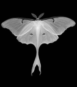 White-Luna-Butterfly-2