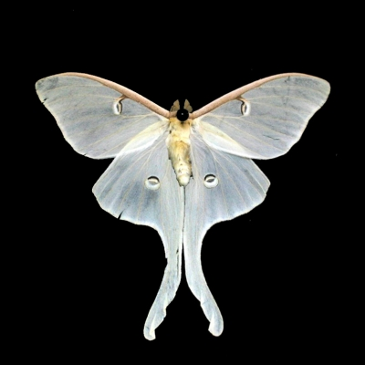White-Luna-Butterfly-Closed-Wings